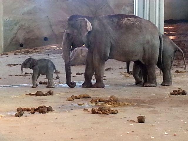 Kölner Zoo Elefantengeburt Freizeitideen Köln 1 - Elefantenbaby im Kölner Zoo + Elefantentag