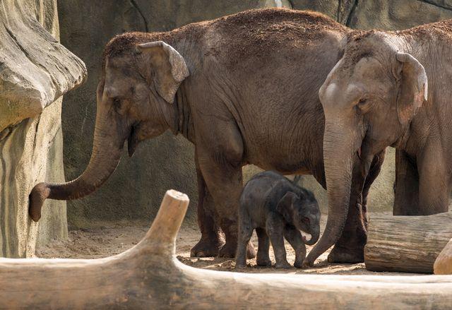 Kölner Zoo Elefantengeburt Freizeitideen Köln 2 - Elefantenbaby im Kölner Zoo + Elefantentag