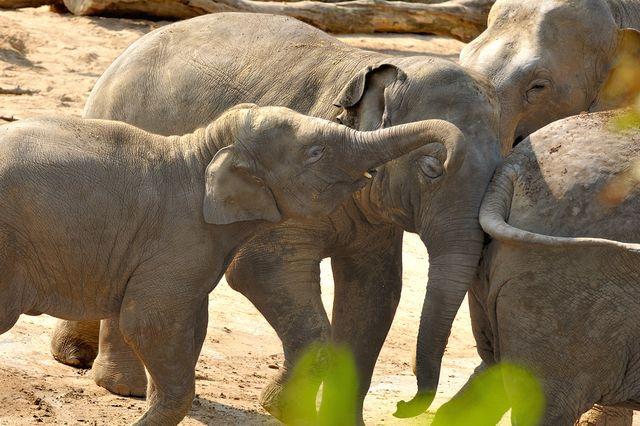 Kölner Zoo Elefantengeburt Freizeitideen Köln 01 - Elefantenbaby im Kölner Zoo + Elefantentag