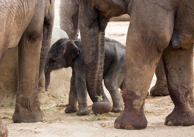 Kölner Zoo Elefantengeburt Freizeitideen Köln 4 - Elefantenbaby im Kölner Zoo + Elefantentag
