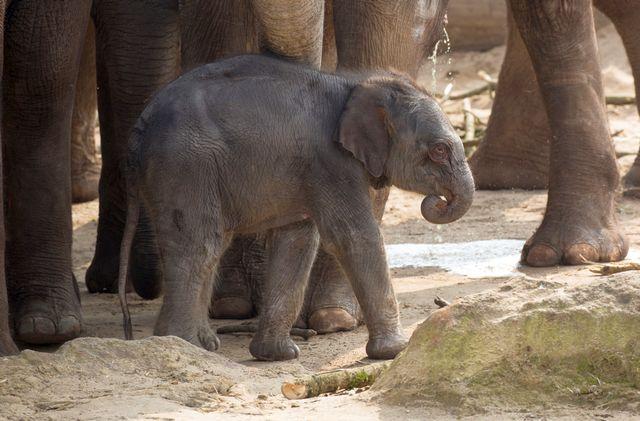 Kölner Zoo Elefantengeburt Freizeitideen Köln 3 - Zoo, Du fröhliche!