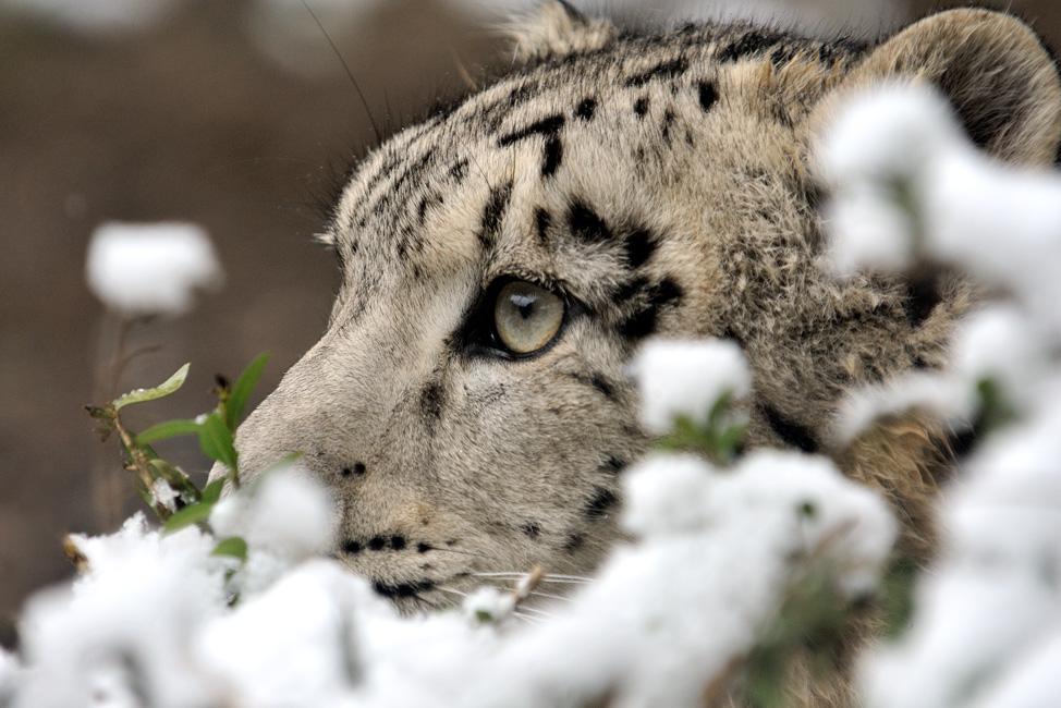 Kölner Zoo Schneeleopard - Zoo, Du fröhliche!